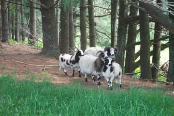 My Jacob sheep with lambs.