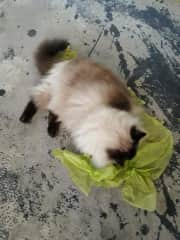 Our cat Sammi destroying some tissue paper
