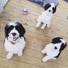 Getting 3 6 month old SpringerDoodles to sit at the same time!