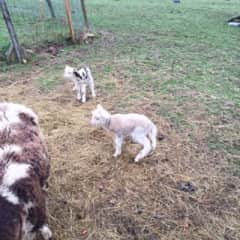 Our 2016 lambs