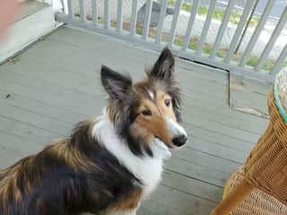 My wonderful Sheltie. Fun dog. I'd love to bring her sometimes to play with other dogs if permitted! But not absolutely a deal breaker.