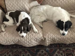 Fenway (l - he's from Boston) and Bentley (r) - two very sweet rescue pups