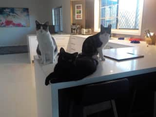 House sitting and taking care of three house cats - Jazz, Blackie and Patch.