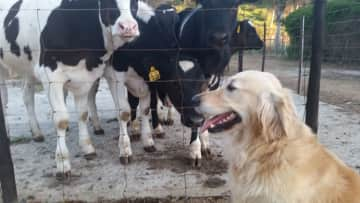Molly, with cows!