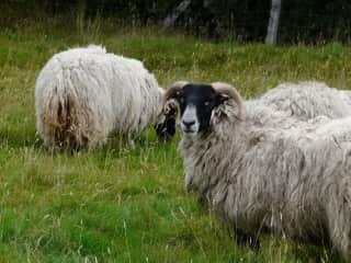 Sheep - Farm Sitting in Scotland