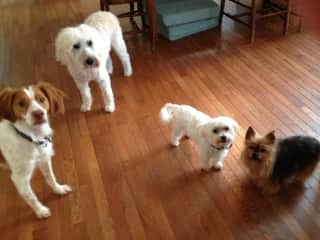 My four loves! Bella (spaniel), Matilda (Wheaten-now deceased at age 17), Moose (Maltese-recently deceased age 13), Lavender