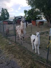 Llamas I learned to care for at a Hindu Temple
