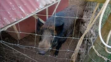 Pig gets all the veggie scraps
