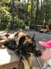 Mooz, one of the 35 sled dogs I helped take care of, gives me a kiss after I brushed him and replaced his bedding straw. The huskies were such amazing athletes, each with their own personality, quirks, and way they wanted to be loved.