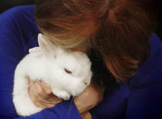 """""""Secret Agent Cool Whip"""" was rescued from a horrible abuse situation. He became a much loved, indoor only  sanctuary bunny ."""