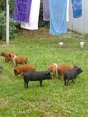 7 little piglets in our Cook island garden