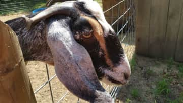 Riley's brother's goat