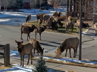 The Roosevelt Elk herd often stop by our neighborhood especially in winter. This was taken in  our front yard.