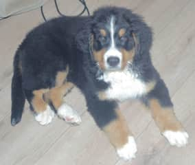 This is Teddy, my 11 week old Bernese Puppy