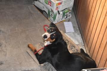 our dog (Appenzeller Sennenhund) Frösi