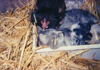Araucana Hen nesting with cat and kittens