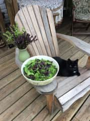 Our cat Tufters with fresh picked basil from our garden.