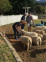 Opportunity to feed sheep
