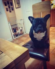 Barry loves to be sat at the table, hes a rescue boy who has been through alot of medical issues including NARS  and soft pallet surgery to help improve his breathing & removal of his ear canals due to bad dermatitis so hes a little hard of hearing