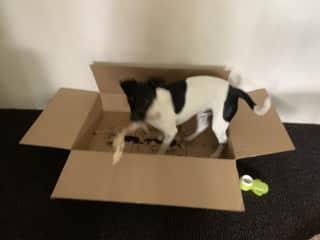 When treats arrive he still prefers the box!