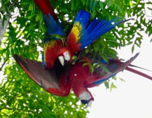 The Macaws of the OSA Peninsular