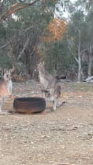 Kangaroos rescued by my friend