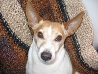 Gideon -Jack Russell Terrier