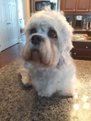 My current Dandie, Sparkle, after I groomed her.