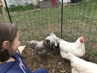 Our first go at chickens was a hit and full of eggs!