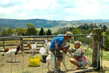 Drenching goats - Hartley