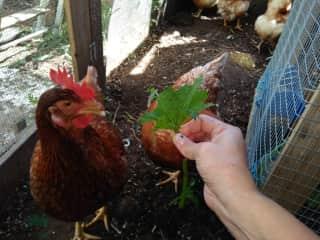 My hens