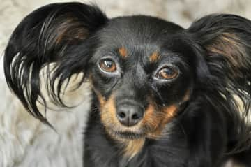 Phoebe is a funny little girl who spends much of her time playing with toys and cuddling. She is a little hesitant with new people but warms up quickly- especially when treats are provided!
