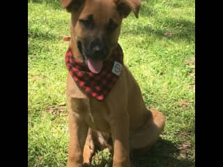 My other grandson.  A Belgian Malinois who is a VERY active and super sweet guy that is always in a great mood!!! This guy loves to work. Can you say ball obsessed?