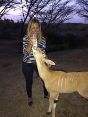 Feeding an orphaned Eland