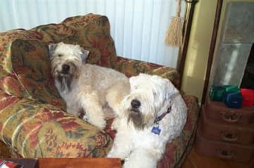 Jake and Millie, our sweet but sassy Wheaton Terriers