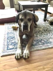 Largest dog sitting. Odin, The Cane Corso, a gentle giant