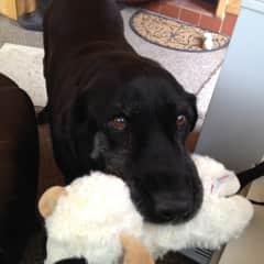 Goose bringing me his favorite squeaky toy