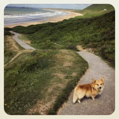 Jack the Corgi (From Wales!) - we managed to walk 60 miles together in 10 days!