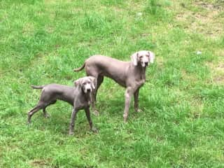 Cybil and Mavis (as a puppy)