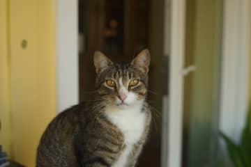 Tom Tom the gentleman cat(housesit)