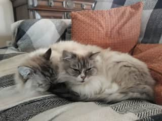 Mix and Match, brother & Sister in France, most effectionate ragdoll cats 💕