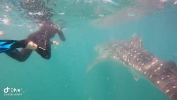 Snorkeling with whale sharks in La Paz, Mexico