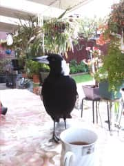 This is Fasolo, my friendly magpie, who likes to visit while I have my morning coffee on the verandah.