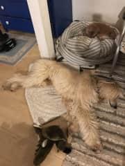 Sighthounds Danyal and Uma