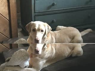 This is my sweet buddy Jack, who is more like a service dog than a typical lab because he is with me all the time and does everything with me. I love him with all my heart!! ❤️