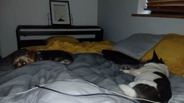 My Two Gorgeous Spiddal Rascals having a morning nap with me. : )