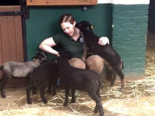 with the Shetland lambs (Cedar, Aspen, Slate, & Ash)