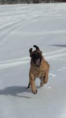My current dog, an English Mastiff, Sydney Castro