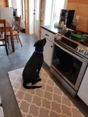 Murphy wants coffee?? My 90 lb (now) grand-dog!