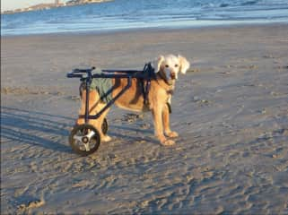 Taz developed a degenerative nerve condition that caused her back end to be wonky. Dan built this cart for her so that she could still go for long walks with us.